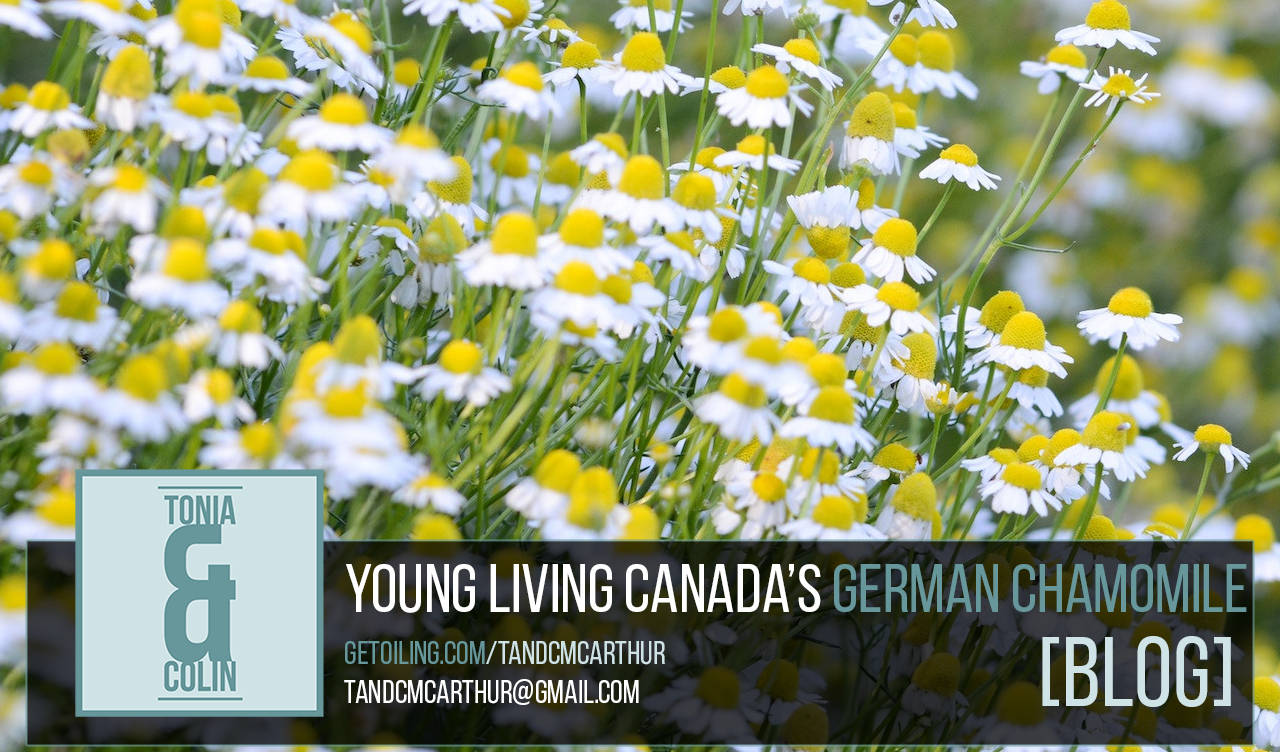Young Living Canada Natural Health Product Feature: German Chamomile