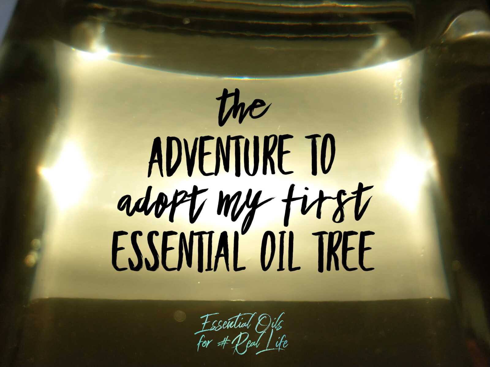 The Adventure to Adopt my First Essential Oil Tree